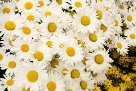 snowcap shasta daisy monrovia snowcap shasta daisy