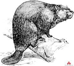 beaver drawing clipart free clipart design download