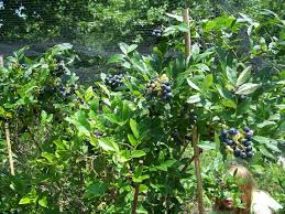backyard berry plants specializing in organically grown