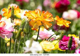 Ranunculus Flower Ranunculus Flower Fields Stock Photos U0026 Ranunculus Flower Fields