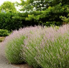 When Is Lavender In Season In Michigan by Provence French Lavender Monrovia Provence French Lavender
