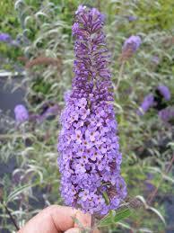 Shrub With Fragrant Purple Flowers - flowering shrubs johnston u0027s evergreen nursery