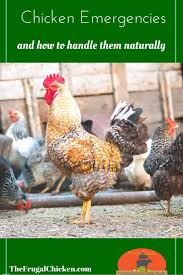 How To Care For Backyard Chickens by 216 Best Backyard Chickens Images On Pinterest Backyard Chickens