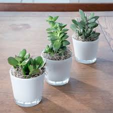 succulent plants mini succulent plant gifts blossoming gifts