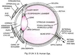 What Structure Of The Eye Focuses Light On The Retina Structure Of Human Eye With Diagram Human Body