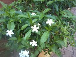 Shrub Small White Flowers - 6 flowering shrubs of india that are not eaten by cattle