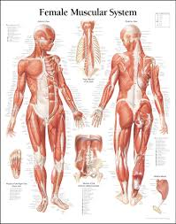 Female Abdominal Anatomy Pictures 5 Tips For Building Muscle Muscle Anatomy Female Muscle And