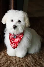 havanese grooming styles havanese puppy cut havanese dog with