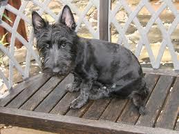 scottish yerrier haircuts diy how to groom your scottish terrier scottish terrier and dog