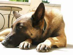 belgian shepherd virginia belgian malinois shepherd dog we have decided this will be