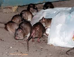Garden Rodents Types Top Ten Best Rat Poisons To Rid Your Home Of Rodents In 2018 Top