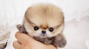 puppies for sale pet puppy mania white teacup pomeranian puppies for sale buy