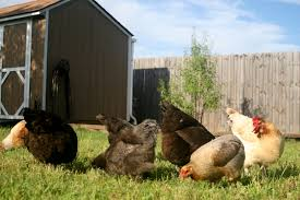 Backyard Chicken Farming by Peregrin Farms Adventures In Urban Farming U2013 Join The Revolution