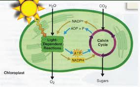 What Happens During The Light Dependent Reactions Of Photosynthesis Twinkle Toes Engineering