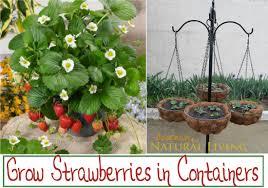 Diy Strawberry Planter by Strawberry Container Gardening Zandalus Net