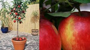 the family tree garden center an apple tree for even the smallest of gardens griffins garden