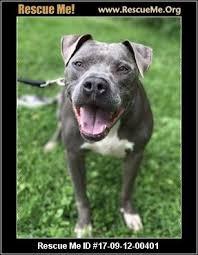 american pitbull terrier webbed feet new jersey pit bull rescue u2015 adoptions u2015 rescueme org