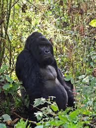 Gorilla by Eastern Gorilla Gets Added To Critically Endangered List Nbc News