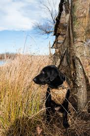 181 best my labs board images on pinterest hunting dogs