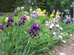 Iris by Long Island Gardening Irises A Colorful Rainbow In The Garden