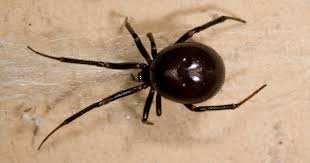 Black Widow Spiders Had A - false widow spider filmed crawling outside pensioner s home is