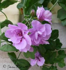 Geranium by Pelargoniums And Geraniums For Aromatic Use Aromatic Notes U2026