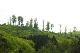 file tree tops in an alsatian forest jpg wikimedia commons