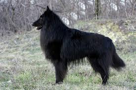 belgian shepherd size belgian sheepdog puppies breed information u0026 puppies for sale