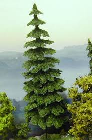 scenery landscaping trees coniferous tree douglas fir