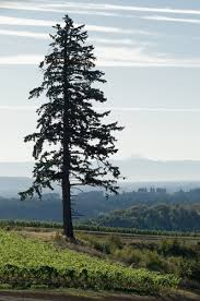 douglas fir tree one big stately douglas fir enjoying the panoramic view high