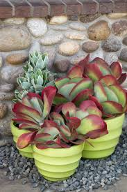 succulents meaning desert rose paddle plant monrovia desert rose paddle plant