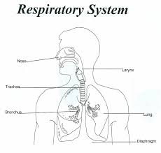 human breathing system diagram respiratory system coloring page