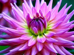 dahlia beautiful purple flower desktop wallpaper hd for mobile