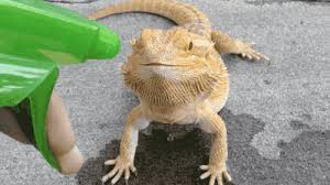 imagenes sorprendentes gif lizard gif find share on giphy