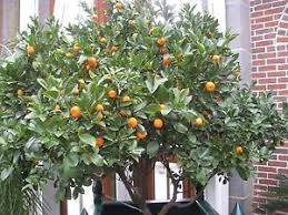 popular ornamental miniature orange tree fruit citrus seeds