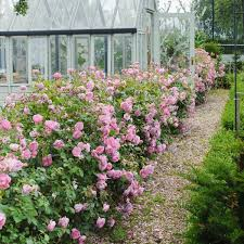harlow carr disease resistant roses popular searches