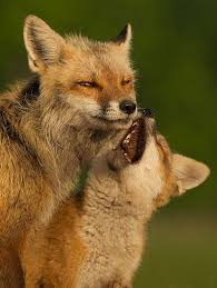 Delaware wild animals images Best 25 red tail fox ideas cute fox foxes and jpg
