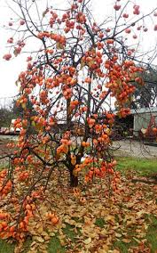 Patio Fruit Trees Uk by 447 Best Growing Training And Pruning Fruit Trees Images On