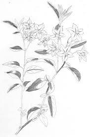 Radio Antena Bor Uzivo A Revision Of The Dulcamaroid Clade Of Solanum L Solanaceae