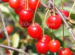 Cherry Tree Fruit - morello cherry trees for sale buy online friendly advice