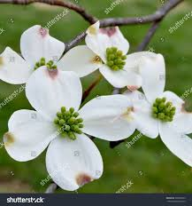 dogwood flowers dogwood flowers stock photo 398620333