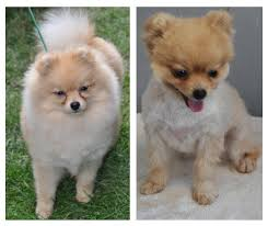 summer haircut pomeranian clipping my pom pomeranian information and facts