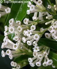 Tropical Fragrant Plants - nashia inaguensis product plant shop pinterest best tropical