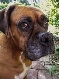 10 boxer dog facts if you u0027re single these 10 dog breeds will make sure you u0027re never