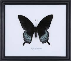 exotic thai butterfly papilio lowi zephyria framed home decor