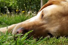 preventing skin cancer in dogs healthy paws