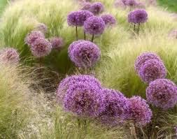 ornament ornamental grass stunning ornamental grasses houston
