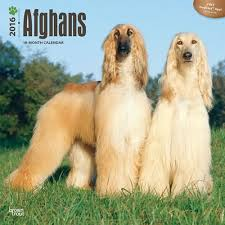 afghan hound 9 months afghan hound calendars stationery and mousepads