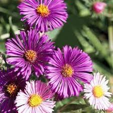 368 best gardening images on pinterest flower gardening verbena