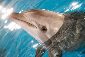 close up of dolphin head in water stock photo picture and royalty